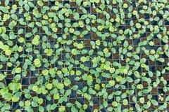 В горшке взгляд сверху огурца Огурец пускает ростии жизнь зеленых листьев новая Стоковые Изображения