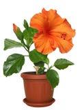 В горшке гибискус цветков Стоковые Фото