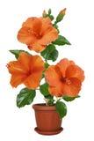 В горшке гибискус цветков Стоковое Фото
