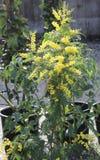 В горшке завод с желтой мимозой цветет на продаже в флористах стоковое фото rf