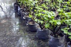 В горшке зеленые растения ждать быть засаженным стоковые изображения rf
