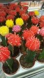 В горшке кактусы стоковое фото rf