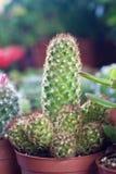 В горшке кактус Стоковое Изображение