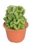 В горшке кактус. Стоковая Фотография RF