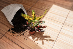 В горшке комнатное растение с почвой на деревенской предпосылке, космосе экземпляра Стоковые Фотографии RF