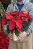 В горшке красный poinsettia или pulcherrima молочая в подарке цветка рук флориста традиционном на праздники рождества стоковые изображения rf