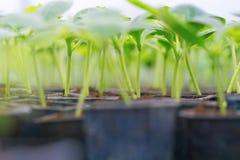 В горшке огурец Огурец пускает ростии жизнь зеленых листьев новая Стоковое Изображение