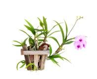 В горшке орхидеи изолированное на белизне Стоковая Фотография