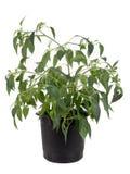 В горшке расти завода jalapeno горячего перца Стоковые Изображения RF