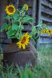 В горшке солнцецветы Стоковые Фото