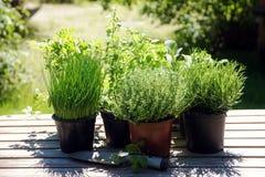 В горшке травы кухни как розмариновое масло, тимиан, петрушка, шалфей, руда стоковое фото