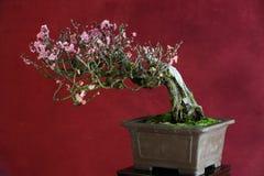 В горшке цветок сливы Стоковое Фото