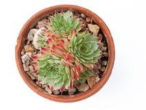 В горшке Succulents Стоковые Изображения