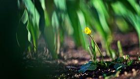 В лесе тюльпанов Стоковое Изображение