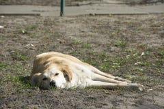 В лете на улице лежа на бездомной собаке имбиря травы Стоковые Фотографии RF