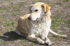 В лете на улице лежа на бездомной собаке имбиря травы Стоковые Фото