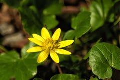 В зеленой траве весны яркий желтый цветок Стоковое Фото