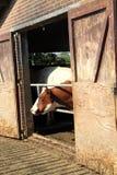 В зиме держите коров в амбаре потому что нет достаточной травы растут Стоковые Фото