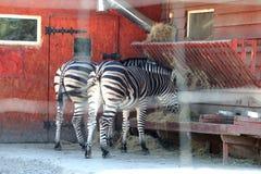 В зоопарке, 2 зебры едят стоковое изображение rf