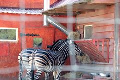 В зоопарке, 2 зебры едят стоковая фотография rf