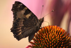 Влияние бабочки Стоковое Изображение RF