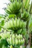 Влияния бананов на дереве Стоковое Изображение RF