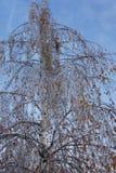 Влияния замерзающего дождя, удручанной березы Стоковая Фотография