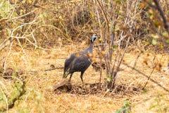 В касках guineafowl в кусте Meru, Кения стоковая фотография rf