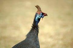 В касках guineafowl в Претории, Южной Африке стоковые фото