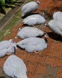 В касках Guineafowl стоковая фотография rf