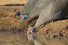 В касках Guineafowl (meleagris) Numida, выпивая, Ботсвана стоковые изображения rf