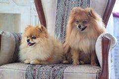 В кресле сидите 2 красивых pomeranian щенят Стоковое Фото
