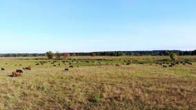 В луге, на зеленом травянистом поле, много коричневой и черной родословной, разводя коров, быки пасут на ферме лето теплое акции видеоматериалы
