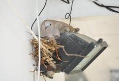 Вложенность голубя на фаре Голубь сидит на гнезде Стоковые Изображения
