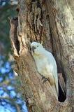 Вложенность какаду в полости дерева Стоковые Изображения RF