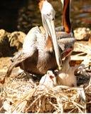 Вложенность пеликана Стоковая Фотография