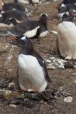 Вложенность пингвина Gentoo - Фолклендские острова Стоковое Фото