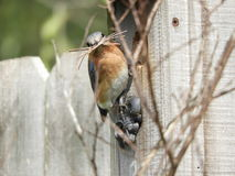 Вложенность синей птицы стоковые фотографии rf