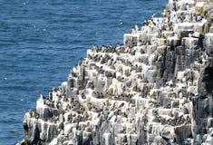 Вложенность Guillmot, остров от мая Стоковая Фотография RF