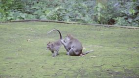 В парке окруженном зеленое обезьяной куста одного малой длинной замкнутой delouses другие видеоматериал