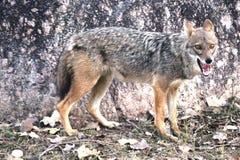 В поисках jackal еды стоковые фото