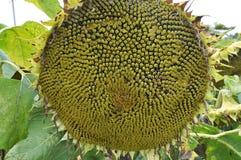 В поле зреет солнцецвет стоковое изображение rf
