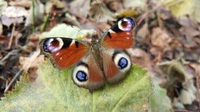 В последнее время бабочка Стоковые Фото