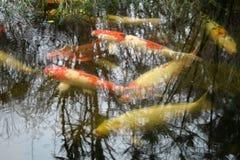 В пруде koi Стоковые Изображения