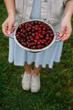 В руках девушки большой дуршлаг свежих вишен Новый сбор вишен с водой падает Фото в саде Стоковая Фотография RF