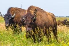 В саванне, пасти степь, прерия табун бизона Стоковая Фотография