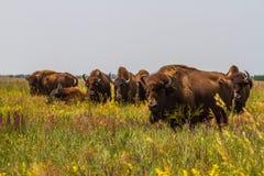 В саванне, пасти степь, прерия табун бизона Стоковое Изображение