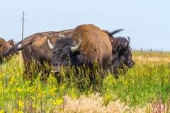 В саванне, пасти степь, прерия табун бизона Стоковые Изображения