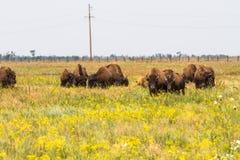 В саванне, пасти степь, прерия табун бизона Стоковые Фото