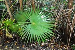 В совершенной симметрии, листья этого здорового Palmetto карлика дуют во всех направлениях - Мексика стоковые изображения